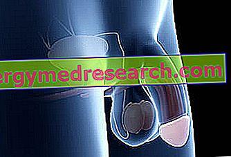 structura  forma și dimensiunea penisului