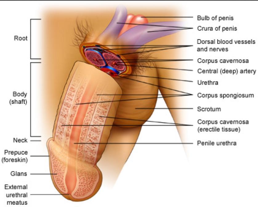 beneficii mici ale penisului