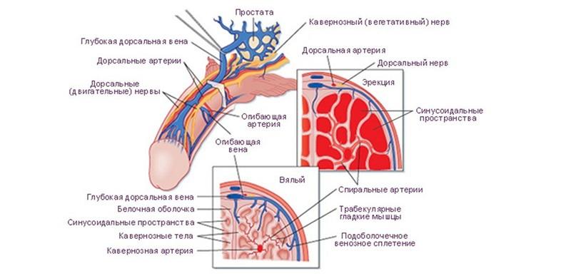penisuri masculine sculele ce este util pentru stimularea unei erecții