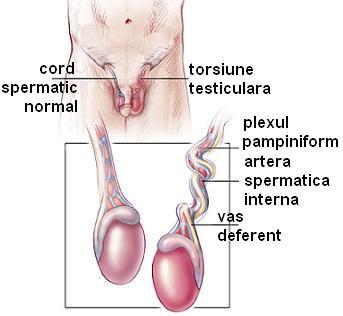 penisul masculin și testiculele în timpul erecției, pula în jos