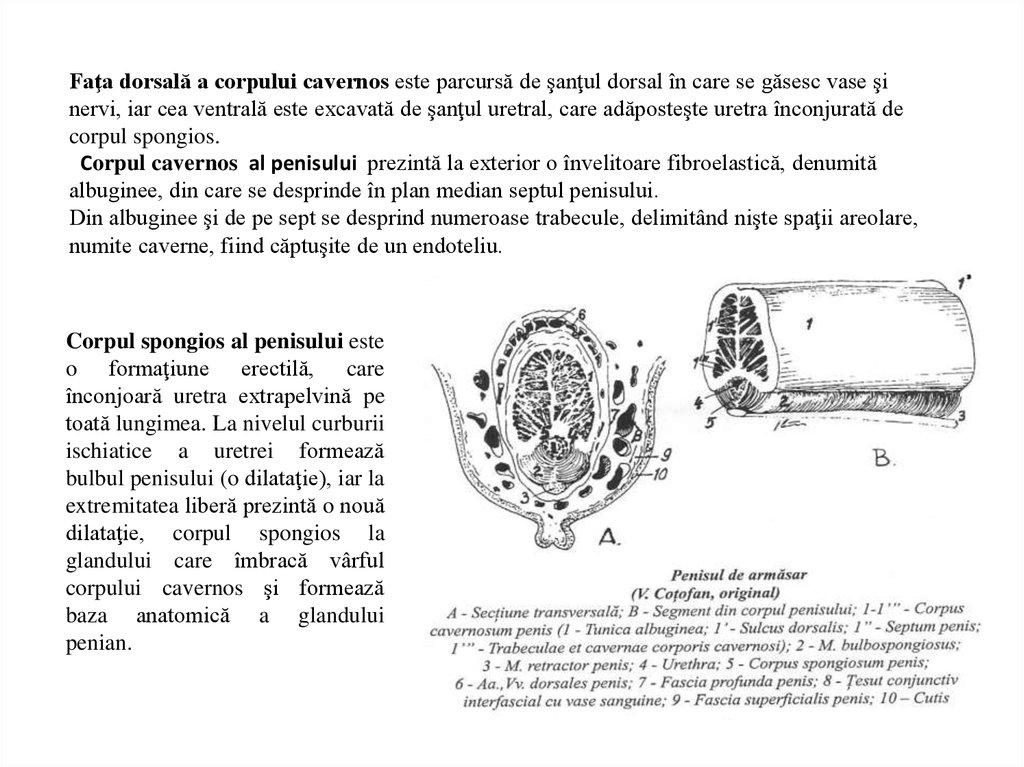 structura  forma și dimensiunea penisului)
