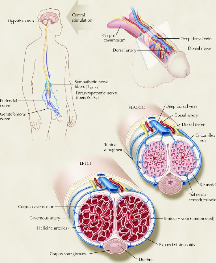 etapele erecției penisului