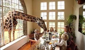 care este penisul girafei