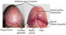 plenitudinea și lungimea penisului