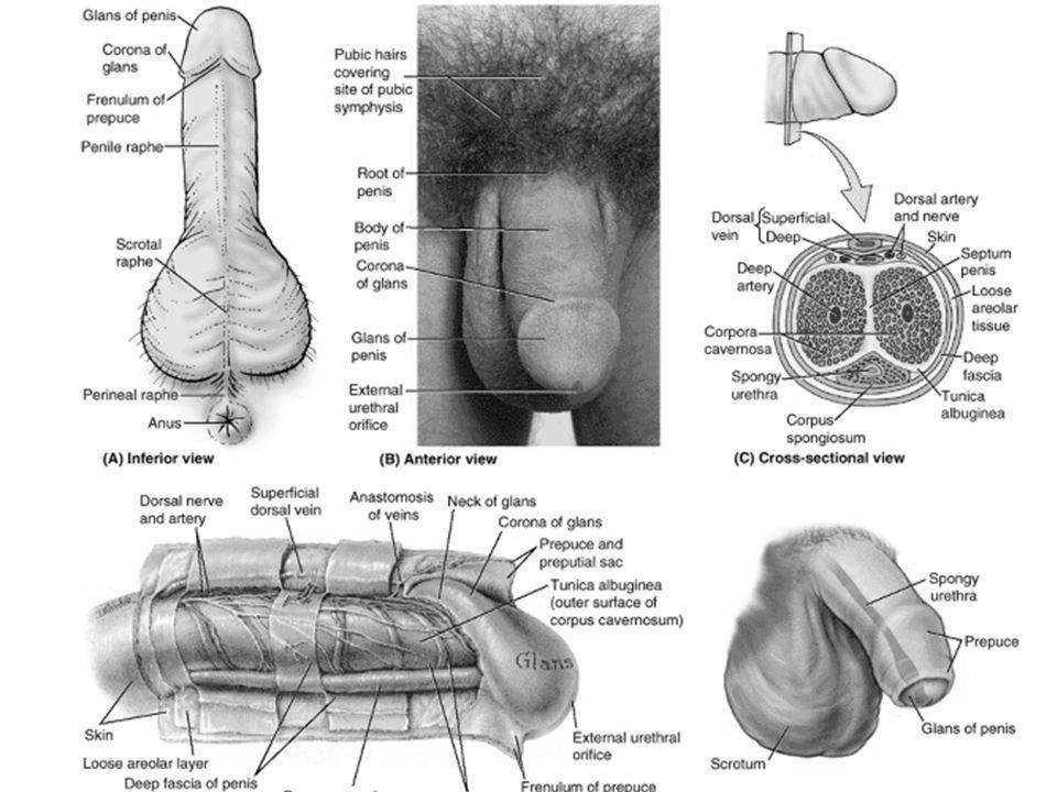 penisului dimensiunea și structura sa