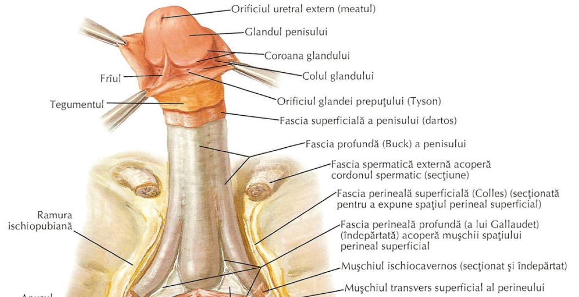 punctul penisului pentru erecție