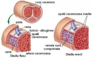 fiziologia erecției masculine