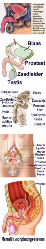 toxine de erectie