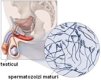 modul în care testiculele afectează erecția la bărbați erecție insuficientă la un bărbat