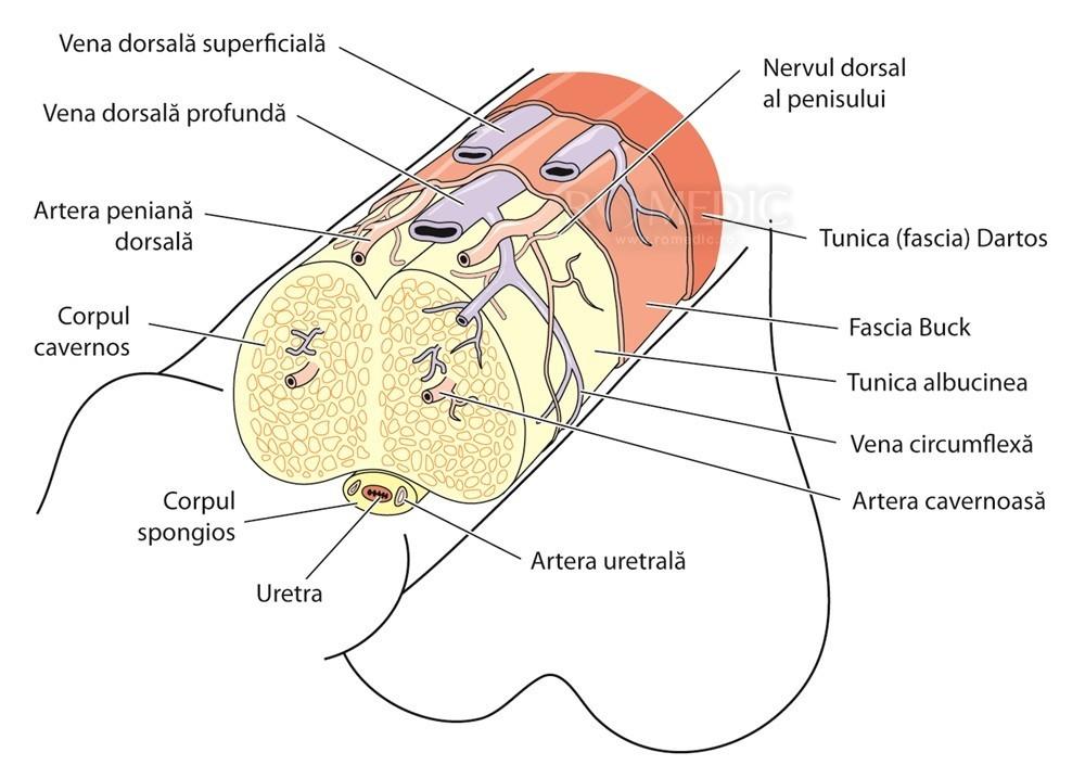 dimensiunea penisului în timpul erecției
