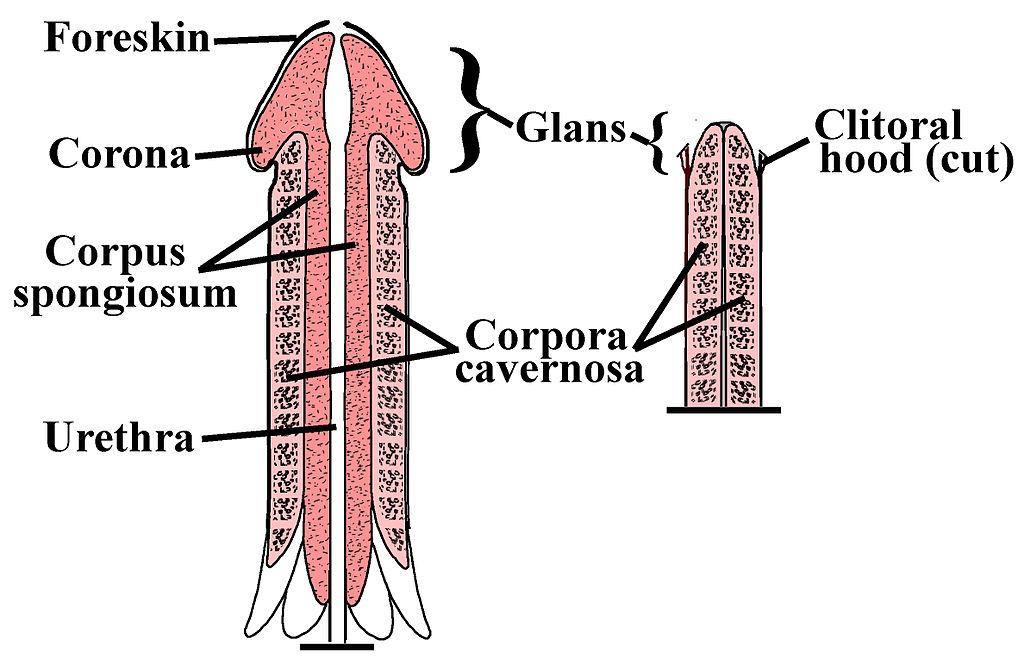 îți poți mări penisul cu adevărat un bărbat are un penis mare