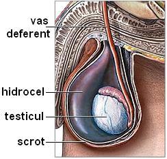 modul în care testiculele afectează erecția la bărbați comentarii despre dimensiunile penisului